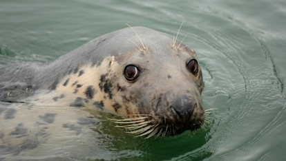Seal in the waters off Kinsale