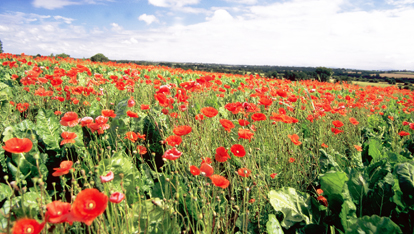 Poppy field, County Carlow