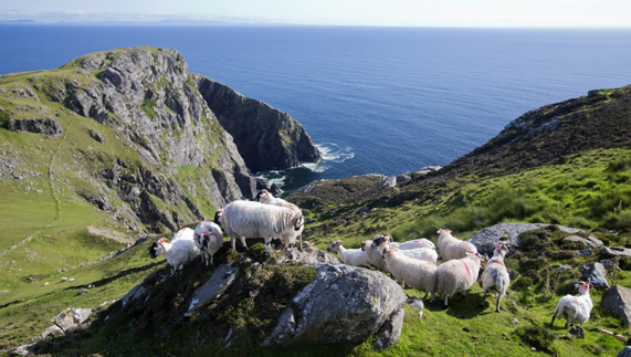 Even the sheep appreciate the view at Slieve League!