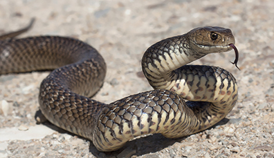 Did St Patrick really banish snakes?