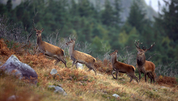 Red deer in Killarney National Park