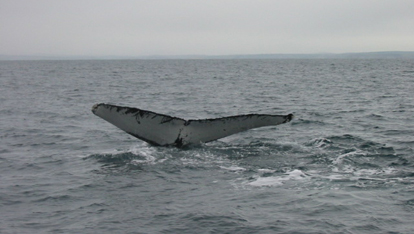 A humpback tail fluke provided by &lt;a href=&quot;http://www.whalewatchwestcork.com/&quot; >Whale Watch West Cork&lt;/a> 
