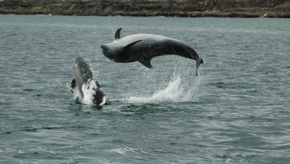 "Acrobatics from bottlenose dolphins  provided by <a href=""http://www.whalewatchwestcork.com/"" >Whale Watch West Cork</a>"