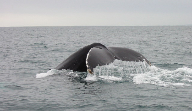 "A humpback tail fluking provided by <a href=""http://www.whalewatchwestcork.com/"" >Whale Watch West Cork</a>"