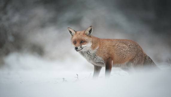 "Red Fox fourni par <a href=""http://www.shutterstock.com/gallery-702964p1.html"" >Menno Schaefer/Shutterstock</a>"