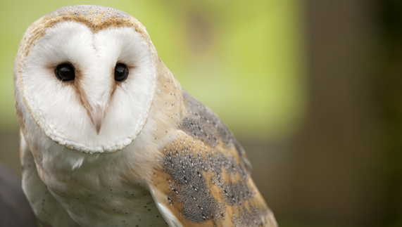 "An Irish Barn Owl provided by <a href=""http://www.shutterstock.com/gallery-64205p1.html"" >Woulter Tolenaars</a>"