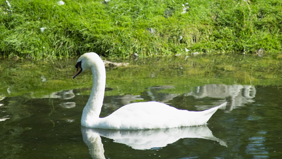 "The mute swan provided by <a href=""http://www.shutterstock.com/gallery-422962p1.html"" >Richard Semik/Shutterstock</a>"