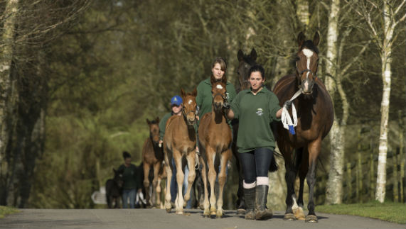Mares and foals being led