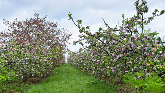 The apple blossom at Ballinteggart House, County Armagh