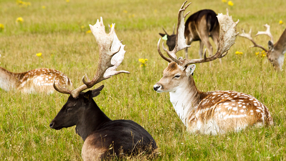 Fallow deer, Phoenix Park, Dublin