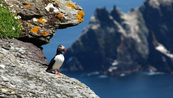 Ireland Puffin on cliff face