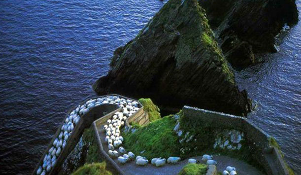 sheep-in-dunquin---611-x-35