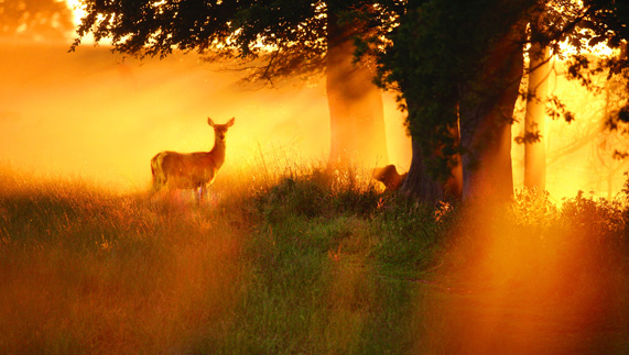 Fallow Deer in the Phoenix Park, County Dublin