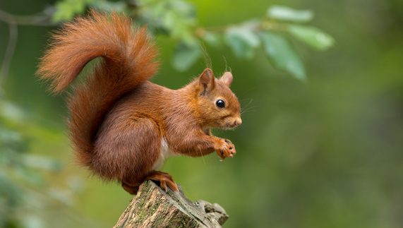 Red squirrel, Ireland's only native squirrel