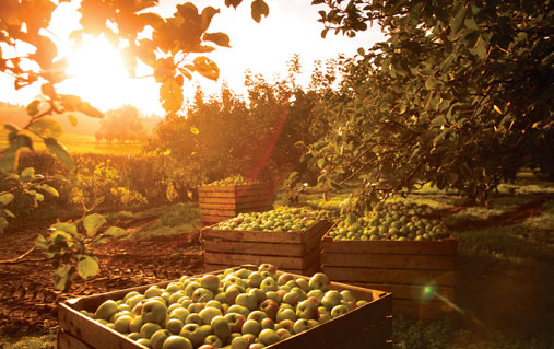 Apple orchard, County Armagh
