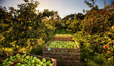 7. Bramley apples